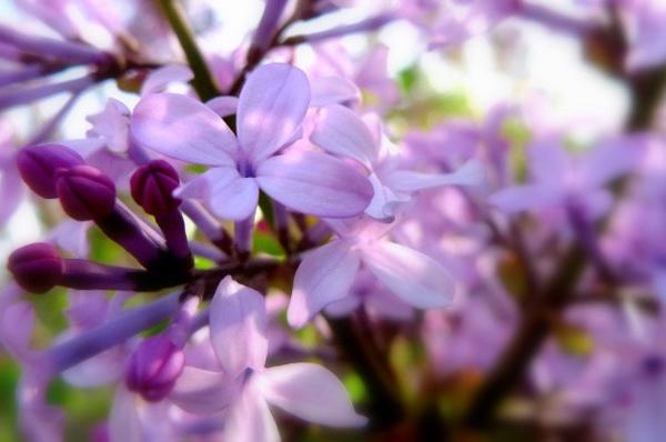 人说坝上好风光,四时各不同,坝上基本在各个月份的景色都是不同的,下面我们就说说您在各个月份能搞看到的不同的坝上的野花。 坝上草原上开得最早的是白头翁、鸢尾、箭报春、蒲公英、胭脂花,白、黄、兰、红在枯黄的背景上悄然绽放,春寒时节将动人的消息在凛冽中传送,给早春的坝上草原增添几分娇媚。 6月中下旬,植物的新叶从枯草里钻出来将草原的背景晕染得一片新绿。雪白的草芍药、玫瑰色的狼毒花、白色的棉团铁线莲、金色的黄花、银灰色的草花序又为这绿色的背景绣上缤纷的精致。 7、8月份是草甸最迷人的时节,种类繁多的植物进入花果期
