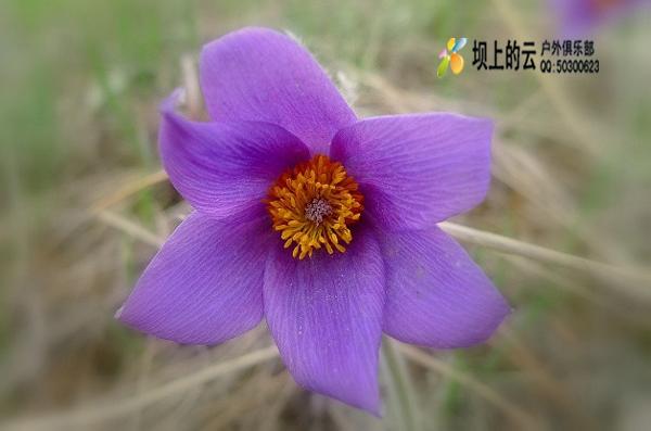 坝上草原上开得最早的是白头翁,鸢尾,箭报春,蒲公英,胭脂花